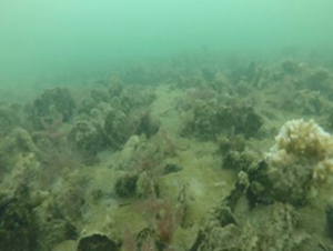 PEARL Oyster Reef Restoration